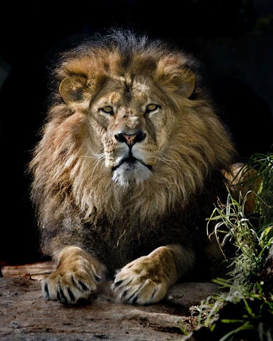 Я царь зверей картинки